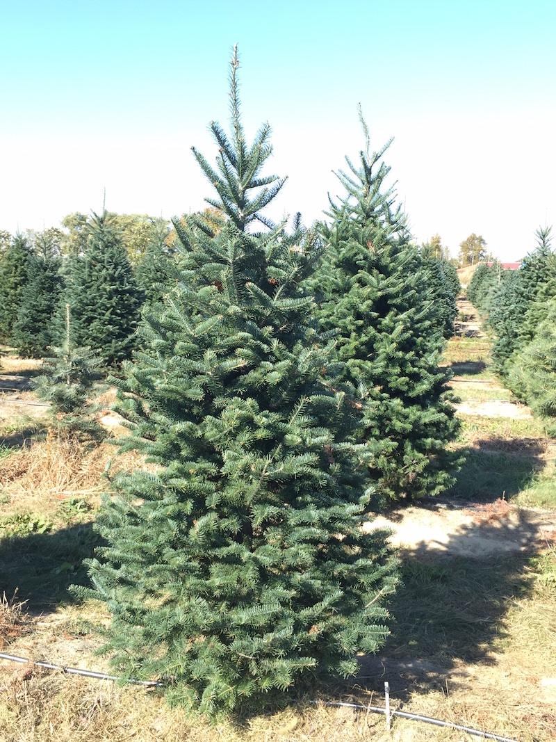 7' Canaan Fir Christmas Tree | Young's Christmas Tree Farm